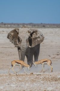 Elephant and Antelope